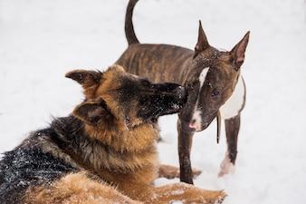 Pastore e bull terrier che giocano sulla neve in un parco. Cani di razza giocosi