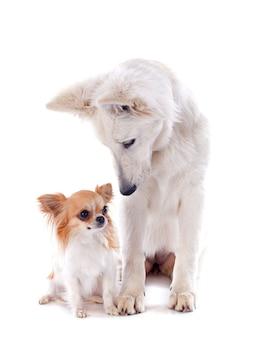 Pastore svizzero e chihuahua