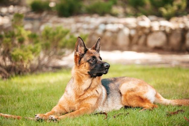 Pastore tedesco che si trova sull'erba nel parco. ritratto di un cane di razza.