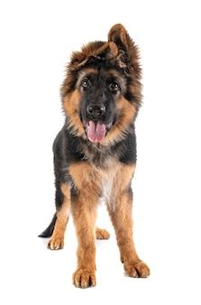 Pastore tedesco del cucciolo davanti al bianco