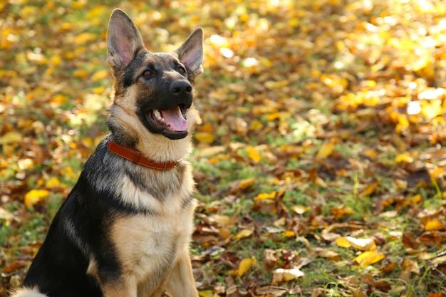 Pastore tedesco nel parco d'autunno. cane nella foresta