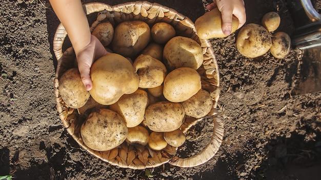 Patate da raccolto organiche fatte in casa. messa a fuoco selettiva