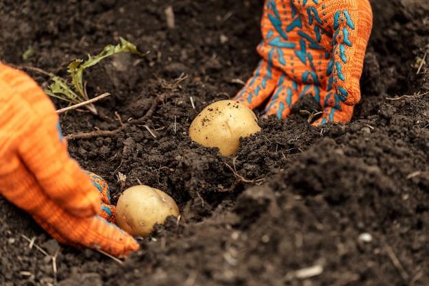 Patate in mani sul terreno