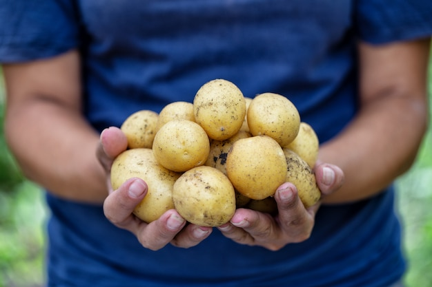 Patate nelle mani della contadina