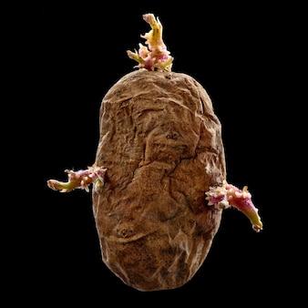 Patate su sfondo nero, patata pigra, con germogli