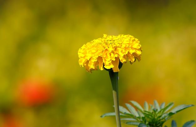 Patula di tagetes del fiore del tagete giallo