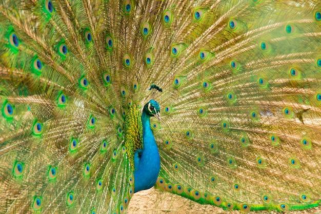 Pavone maschio del pavone con la coda aperta. vista laterale.