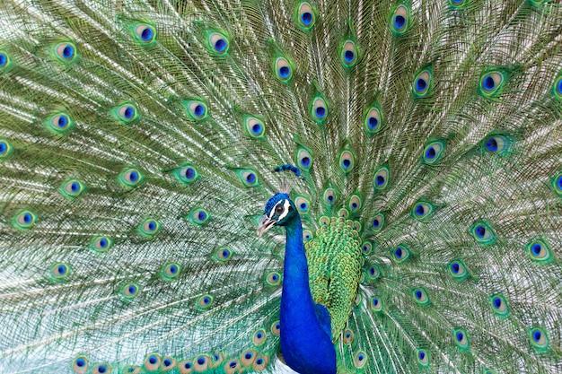 Pavone maschio indiano sbalorditivo con le ali aperte che mostrano tutti i suoi occhi azzurri sopra piumaggio verde.