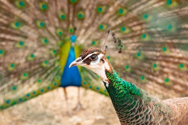 Pavone pavone con coda aperta. pecocks maschili e femminili insieme.