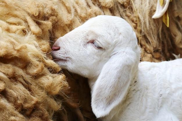 Pecora appena nata, agnello appena nato abbandonato