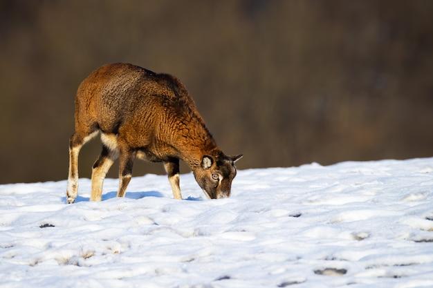 Pecora di muflone in cerca di cibo e pascolo in inverno