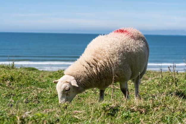 Pecore al pascolo in un prato verde