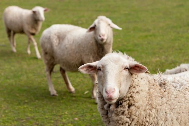 Pecore al pascolo nel prato con erba verde
