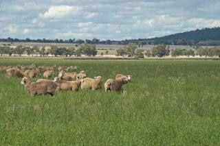Pecore al pascolo stagione