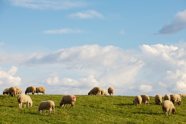 Pecore che mangiano nel campo sotto il cielo blu
