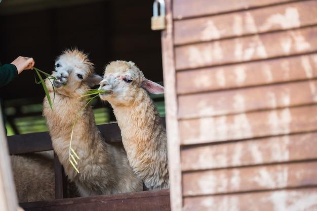 Pecore che si alimentano con i fieni nella rete fissa