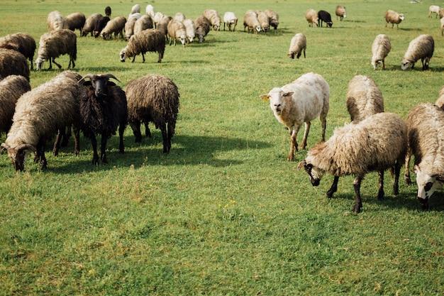 Pecore del primo piano che mangiano erba sul pascolo
