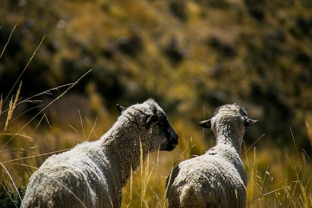 Pecore delle montagne della cordillera real, ande, bolivia