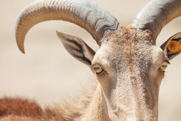 Pecore di barbary, ammotragus lervia o primo piano di arrui