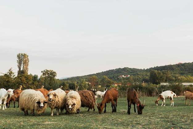 Pecore e cavalli al pascolo insieme su una terra di erba verde
