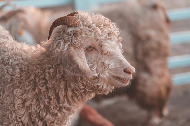 Pecore in fattoria