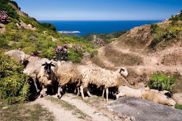 Pecore in montagna sul mare a sithonia, in grecia