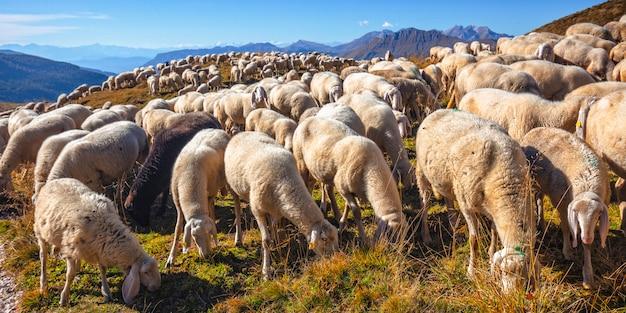 Pecore in passo rolle