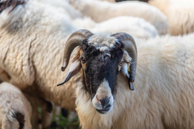 Pecore in un prato su erba verde in fattoria.