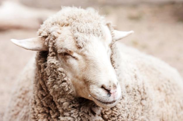 Pecore lanose in zoo