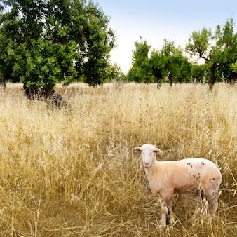 Pecore mediterranee sul campo di grano e mandorli