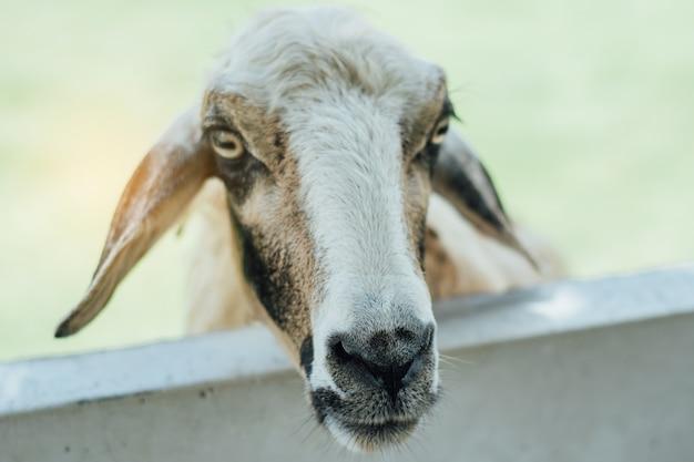Pecore nell'allevamento di pecore in attesa di alimentazione