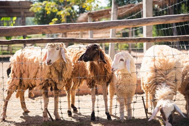 Pecore nella gabbia allo zoo
