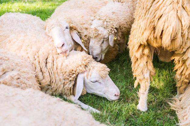 Pecore su erba verde