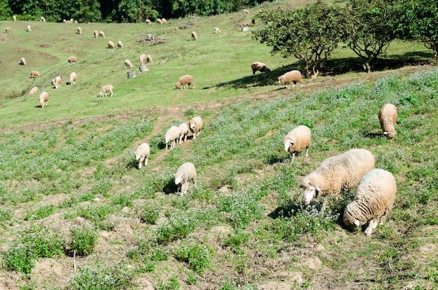Pecore sul bellissimo prato di montagna