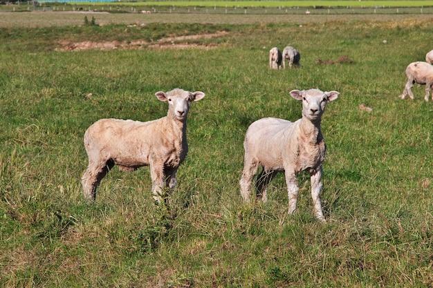 Pecore sull'isola del sud, nuova zelanda
