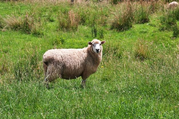 Pecore sulle colline e campi della nuova zelanda