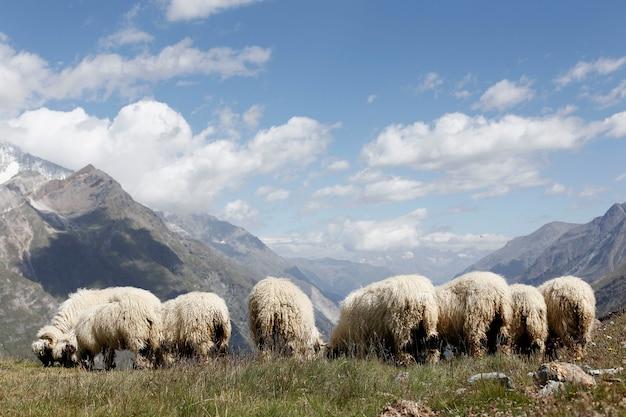Pecore svizzere lanose che pascolano in cima alle scogliere delle montagne alpine prima di essere tosate.