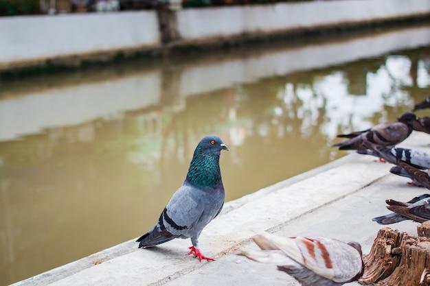 Pegions o colombe hanno abitato la città, tailandia.