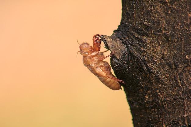 Pelle di cicala sull'albero