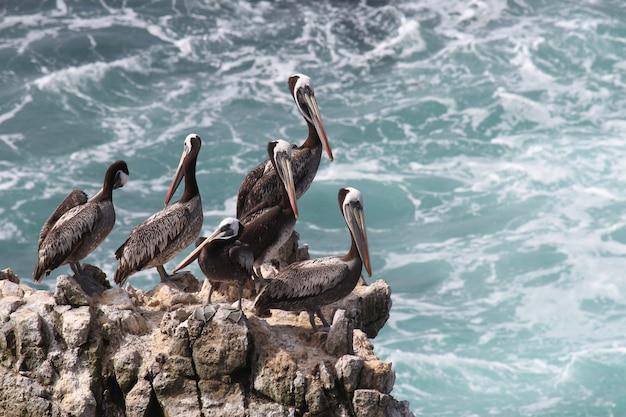 Pellicani peruviani sulla roccia costiera