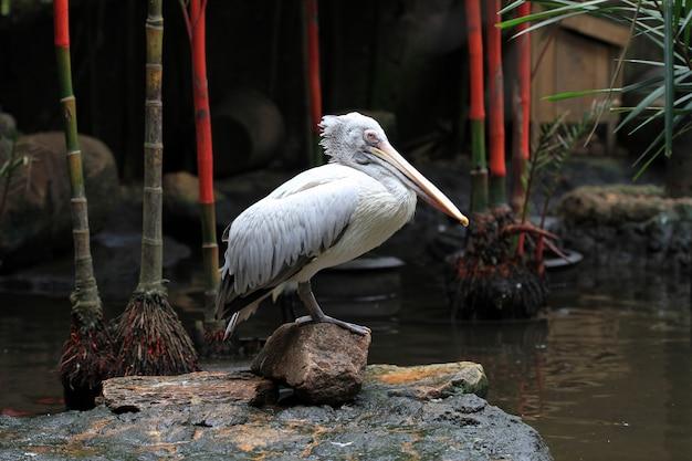 Pellicano bianco in ascesa, uccello acquatico bianco.