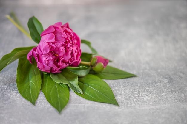 Peonia rosa fiore peonia con un germoglio su grigio chiaro.