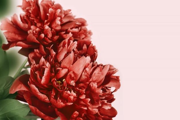 Peonia rossa su sfondo rosa con spazio di copia. fiore in fiore di peonia. sfondo fiorito naturale.