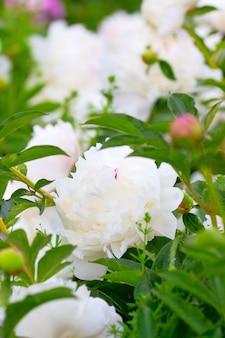 Peonie in fiore, varietà selezionate