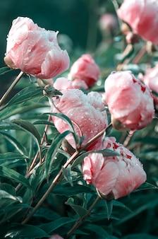 Peonie rosa in fiore nel giardino estivo