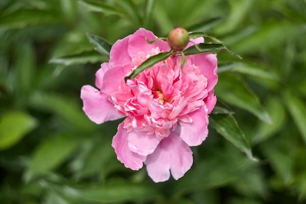 Peonie rosa romantiche nel giorno soleggiato del giardino di primavera