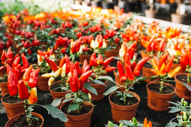 Peperoncini rossi freschi che crescono nella serra