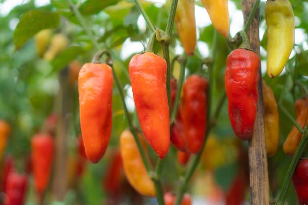 Peperoncino che pianta nelle serre moderne