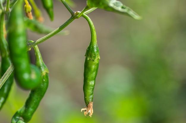 Peperoncino organico verde sulla plantula al campo dell'azienda agricola, concetto del raccolto.
