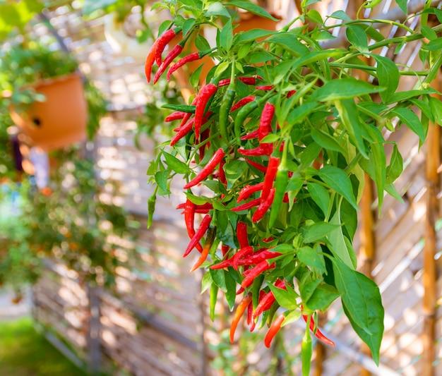 Peperoncino rosso piantagione di ortaggi biologici